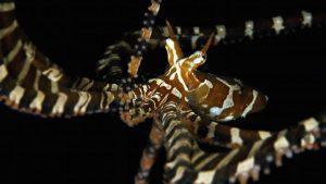 diving-asia-pacific-lembeh-indonesia-wonderpus