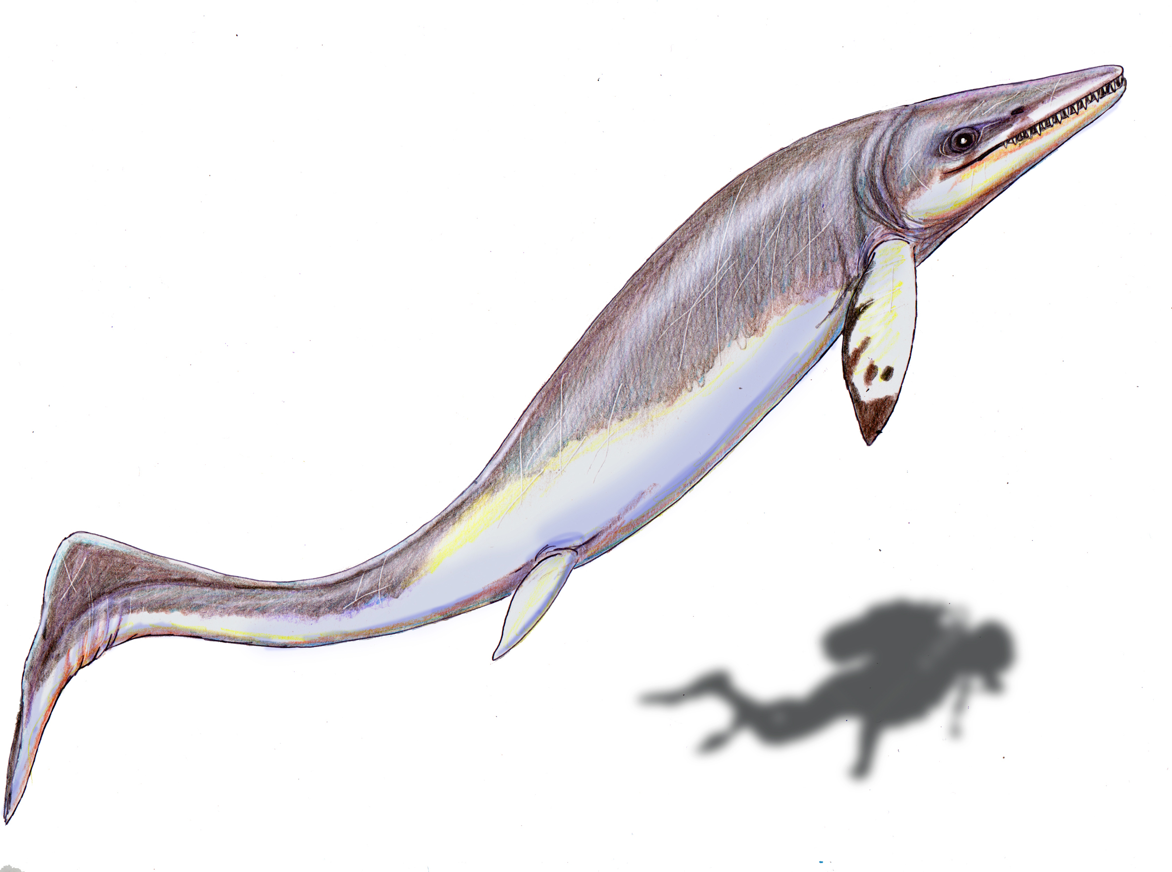 Illustration of a Thalattoarchon compared to a diver © Wikimedia Commons