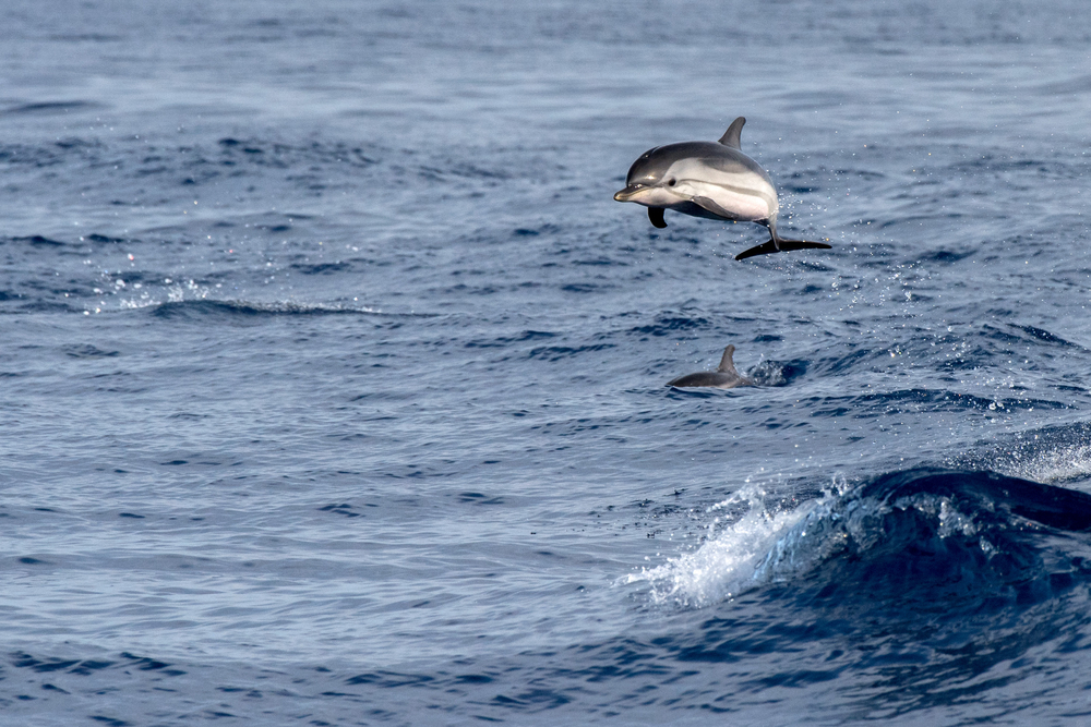Aiming high, a happy dolphin breaches in the ocean © Shutterstock