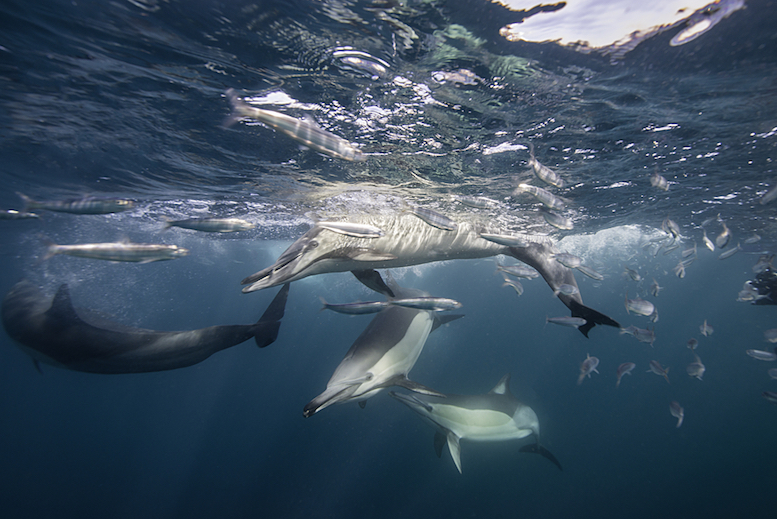 Dolphins in the middle of the school © Shutterstock.com