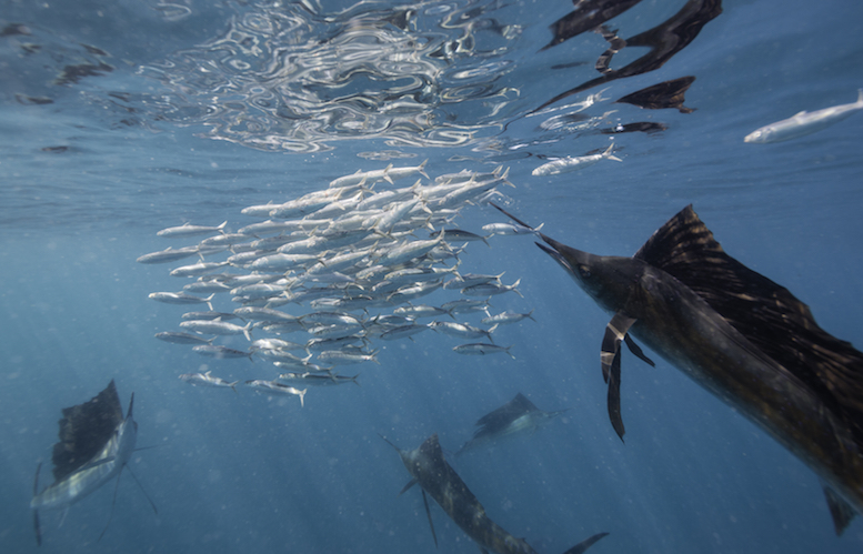 Atlantic sailfish feeding on sardines they have trapped against the surface. Caribbean Sea just outside Cancun, Mexico. © Shutterstock