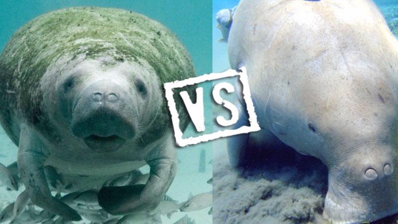 dugong-vs-manatee | Underwater360