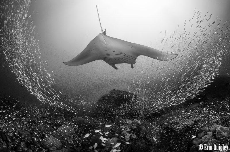 goodbye manta ray