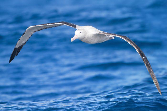 Wildlife of the Week: Wandering Albatross