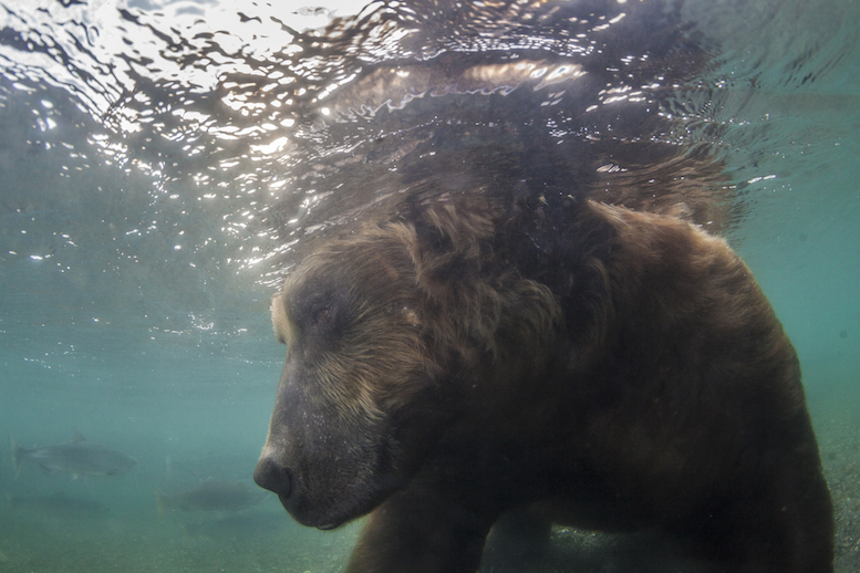 """""""For now this is underwater photographs of brown bears, hunting for salmon in Kamchatka in the area of the Kuril Lake"""" © Mike Korostelev"""
