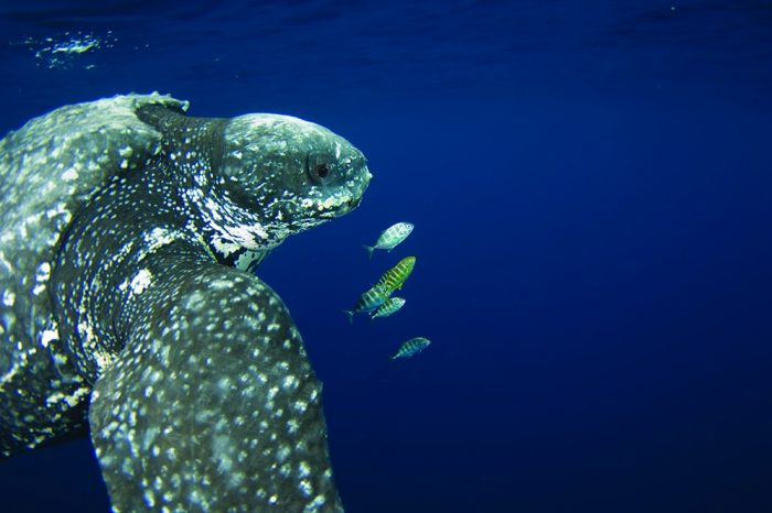 Leatherback Turtle, The grand-dad of the big blue