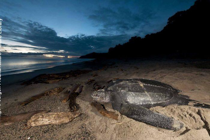 Going S.O.L.O: Saving Leatherback Turtles