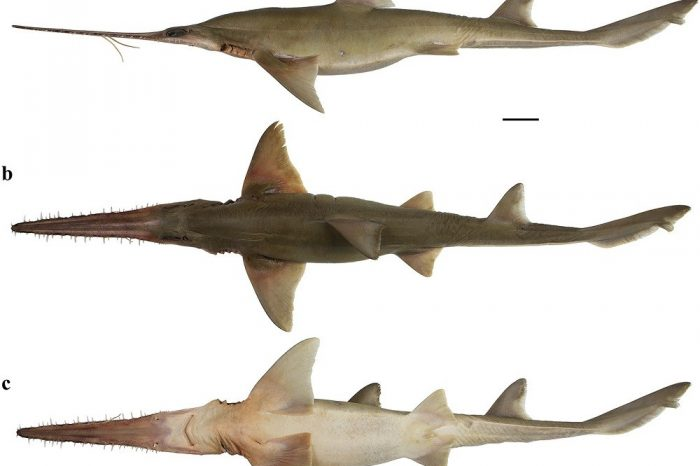 New Discovery: Two new species of the rarely seen six-gilled sawshark in the West Indian Ocean