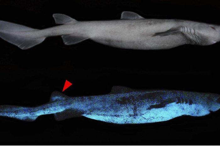 Glow-in-the-dark sharks found near New Zealand