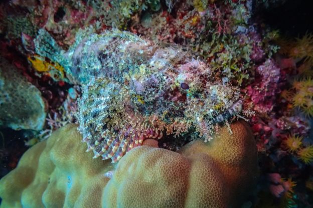 Clown Frogfish (Antennarius maculatus)