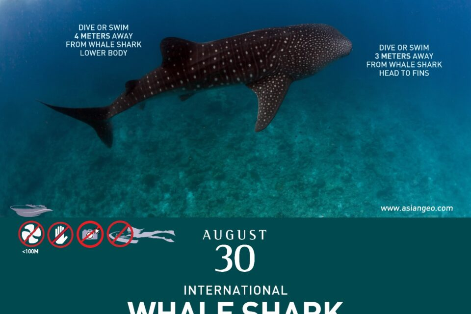 Celebrating Whale Shark Day: How whale sharks saved a fishing town and its sea life