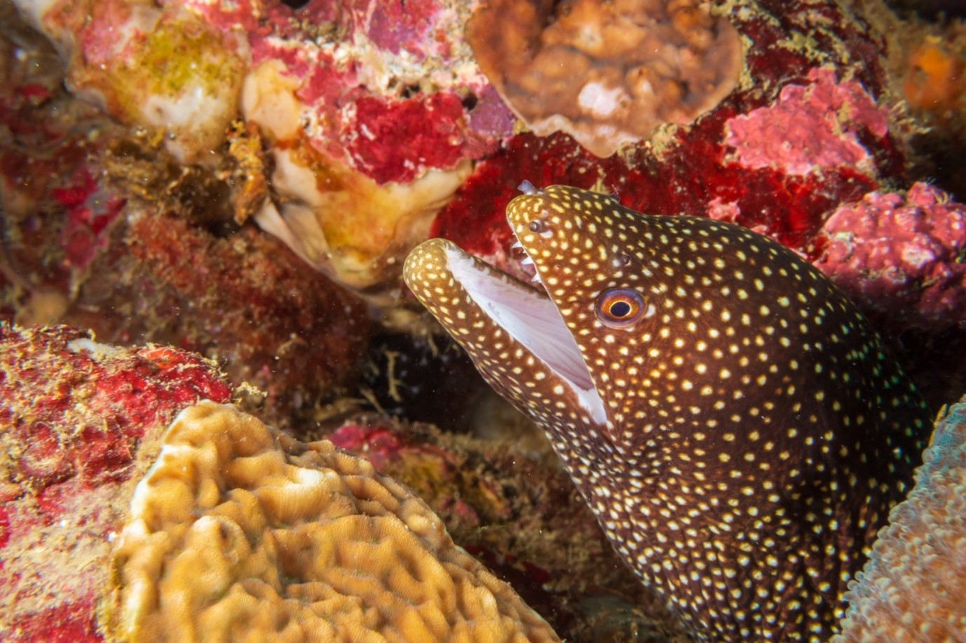 Yellow Spotted Moray Eel