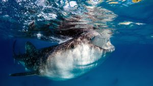 diving-asia-pacific-whale-shark