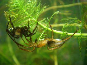 scuba spider