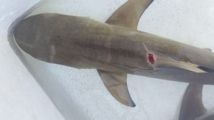 shark injuries
