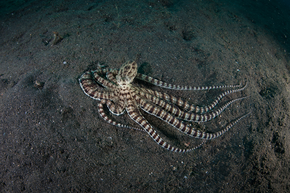 the mind of a mimic octopus underwater360