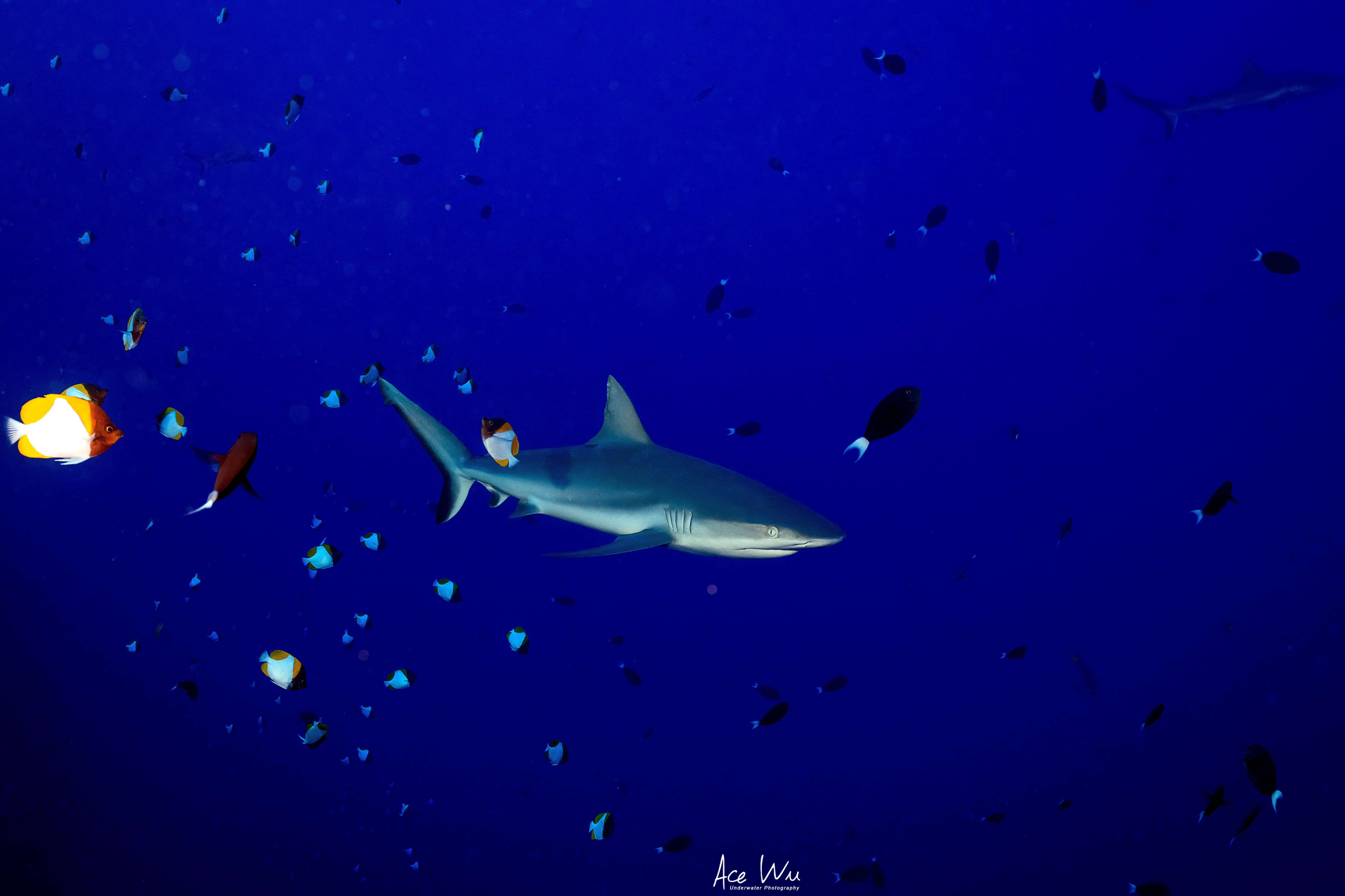 A reef shark in Palau's waters