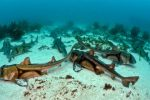Port Jackson sharks, Heterodontus portusjacksoni, are a sociable species that aggregate in large numbers. Juveniles tend to remain in mixed-sex groups in their nursery bays and estuaries until close to maturity. Eventually they move into deeper waters where they separate into female and male groups